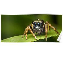 (Menemerus bivittatus) Jumping spider #2 Poster
