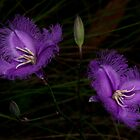 Fringed Lilies by GP1746