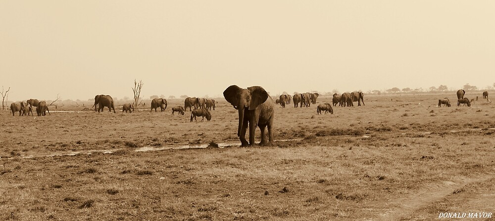 Savuti Marsh Elephants by Donald  Mavor