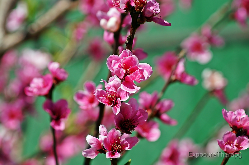 Springtime Blossoms by ExposureTherapy