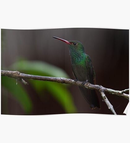 Hummingbird in Belize Poster