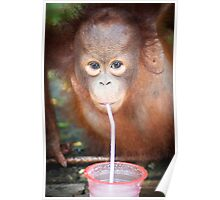 Young Orphan Orangutan ~ Borneo Poster