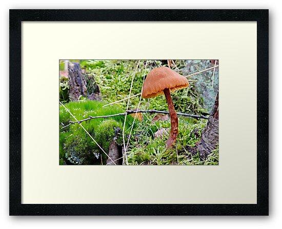 Laccaria Proxima / or bicolour by relayer51