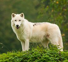 Arctic Wolf by Daniel Jarvis wildlife and nature photography