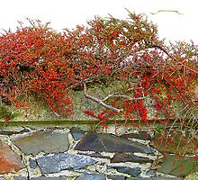 Red Berries On A Stone Wall by Fara