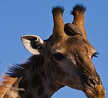 Giraffe by Joe Stallard