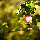 Apple in apple tree by netza