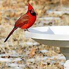 Birdbath Cardinal by Samantha Dean