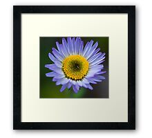 Alpine Daisy Flower, Jasper National Park, AB Framed Print