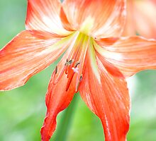 Jayne Eldred's 'Christmas Lilly' by Art 4 ME