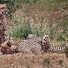 GUARDING - Acin0nyx jabatus, the fastest preditor on earth by Magriet Meintjes