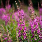 Fireweed 2 by enutini