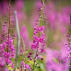 fireweed 3 by enutini