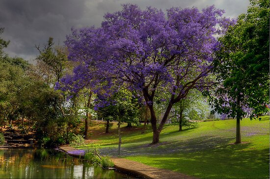 Jacarandas Festival. (See Park Grafton) by Julie  White