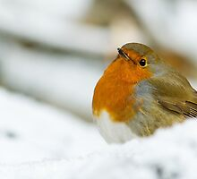 Robin in the Snow by Platslee