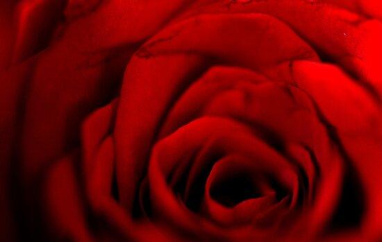 Red Rose by lumiwa