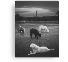 Animals: Labrador herding Alpacas Canvas Print