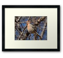 Male House Finch Bird  Framed Print