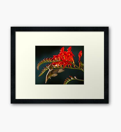 Hummingbird Eating at Flower Framed Print