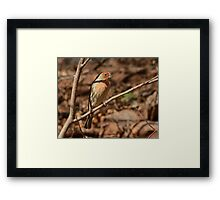 Male House FInch Bird in sunlight Framed Print