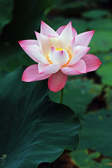 201209010801 Lotus by Steven  Siow
