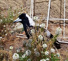 Magpie - 07 11 12 -  Six by Robert Phillips