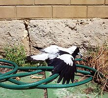 Magpie - 07 11 12 - Eight by Robert Phillips