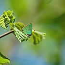 Green Hairstreak Butterfly by Sue Robinson