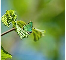 Green Hairstreak Butterfly Photographic Print