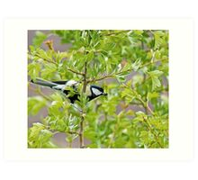 Great Tit with insect Art Print