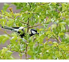 Great Tit with insect Photographic Print