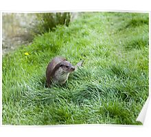 Eurasian Otter Poster