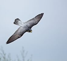 Peregrine Falcon by Sue Robinson