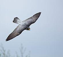 Peregrine Falcon by Sue Robinson