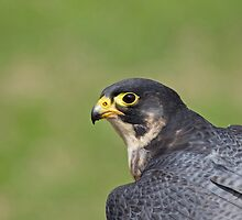 Peregrine Falcon head shot by Sue Robinson