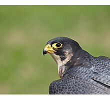 Peregrine Falcon head shot Photographic Print