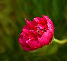 Pink Flower in Rain by Sue Robinson