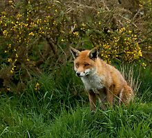 Red Fox by Sue Robinson