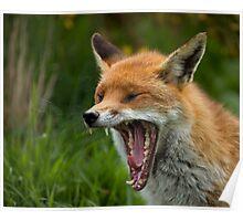 Red Fox yawning Poster