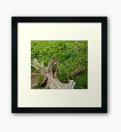 Scottish Wildcat Framed Print