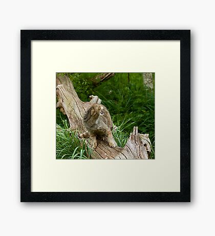 Scottish Wildcat snarling Framed Print