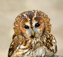 Tawny Owl head shot by Sue Robinson