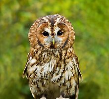 Tawny Owl full length by Sue Robinson