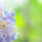 Hydrangea I by Alita  Ong