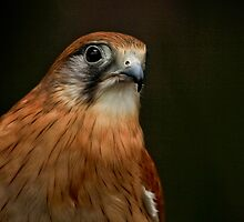 Nankeen Kestrel by Sea-Change