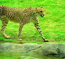 Cheetah by TheatreLass2011