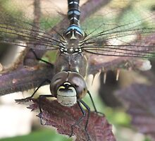 The Migrant Hawker by Mark Baldwin