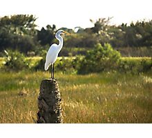 Great Egret at Viera Wetlands Photographic Print