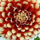 Dahlias Dahlias Dahlias by Sarah Curtiss