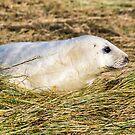Grey Seal Pup by John Dunbar